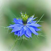 Love in a Mist Flower