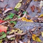 """""""Autumn Leaves on Rocks"""" by KsWorldArt"""