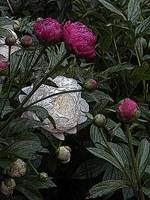White And Red Peony Bush