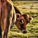 """Guernsey cow"" by eye4nature"