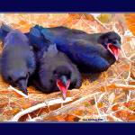 """Angry Birds: Juvenile ravens"" by eye4nature"
