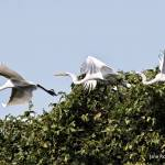 """Egret_in_flight"" by eye4nature"