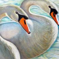 Two swans in water Art Prints & Posters by Louise Dionne
