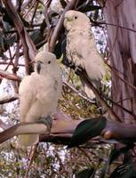 Cockatoos in Eucalyptus tree