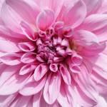 """Sweet Pink Dahlia"" by Groecar"