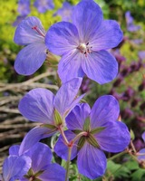Geranium Flower Meadow Cranesbill