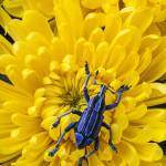 """Blue bug on yellow mum"" by photogarry"