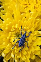 Blue bug on yellow mum