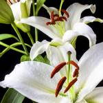 """Three white lilies"" by photogarry"