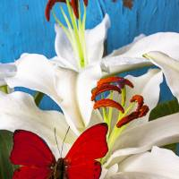 Red butterfly on white tiger lily Art Prints & Posters by Garry Gay