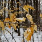 """""""Yellow Leaves in Winter Forest"""" by andreifilippov"""