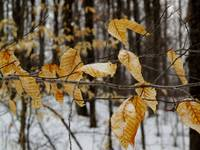 Yellow Leaves in Winter Forest