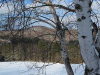 Birch Trees in Vermont