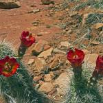 """Red Cactua Flower"" by FindleyPhoto"