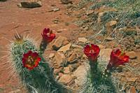 Red Cactua Flower