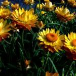 """""""Field Of Flowers"""" by bavosiphotoart"""