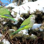 """Couple of Monk Parrots"" by janetharper"