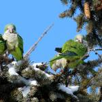 """Monk Parrots aka Quacker Parrots Preening"" by janetharper"