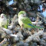 """Couple of Monk Parrots Chillin"
