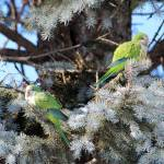 """Monk Parrots"" by janetharper"
