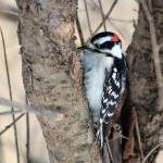 """""""Male Downy Woodpecker"""" by janetharper"""