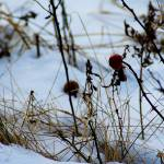 """""""Peeking Through Snow"""" by CCYPhotography"""
