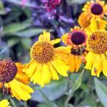 """""""Sunflower"""" by jennywertheimer"""