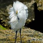 """Snowy Egret in the breeze"" by RMBroome"