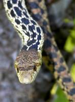 Gopher Snake in Santa Barbara County Southern CA