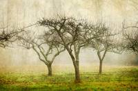 Apple Orchard in the Fog