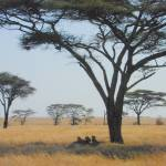 """Lions in Serengeti Shade"" by Traveler"
