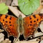 """""""Eastern Comma Butterfly"""" by janetharper"""