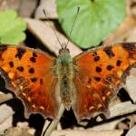 """Eastern Comma Butterfly"" by janetharper"