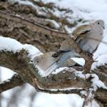 """Eurasian Collared Dove"" by cameragal"