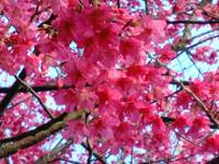 Blooming cherry blossom 1
