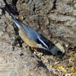 """Yellow belly nuthatch"" by cameragal"