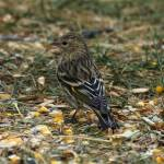 """Pine siskin"" by cameragal"