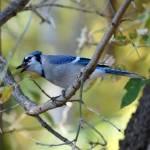 """Blue jay"" by cameragal"