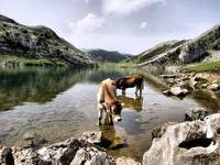 Cows in Lakes of Covadonga, Asturias