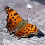 """Eastern Comma Butterfly"" by cameragal"