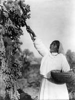 Papago Woman Picking Cactus Fruit