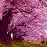 """Beautiful sakura tree"" by lanjee"