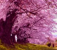Beautiful sakura tree