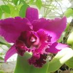 """Purple Orchid"" by YvieArtist"