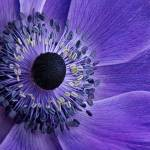 """Purple Anemone"" by AnnG"