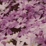 """Cherry blossom flower"" by lanjee"