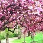 """Cherry blossom tree 3"" by lanjee"