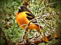 Baltimore Oriole Orange Bird