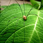 """""""Daddy Long Leg"""" by BMoorePhotography"""