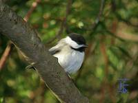 Chickadee-Small Bird in Oil